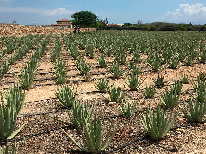 Aruba-Aloe-Factory-Museum-and-Store